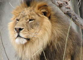 Lion - Louisville Zoo
