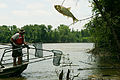 An invasive Asian carp jumps from the water